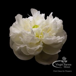 Peony-White-Duchess-Virgin-Farms
