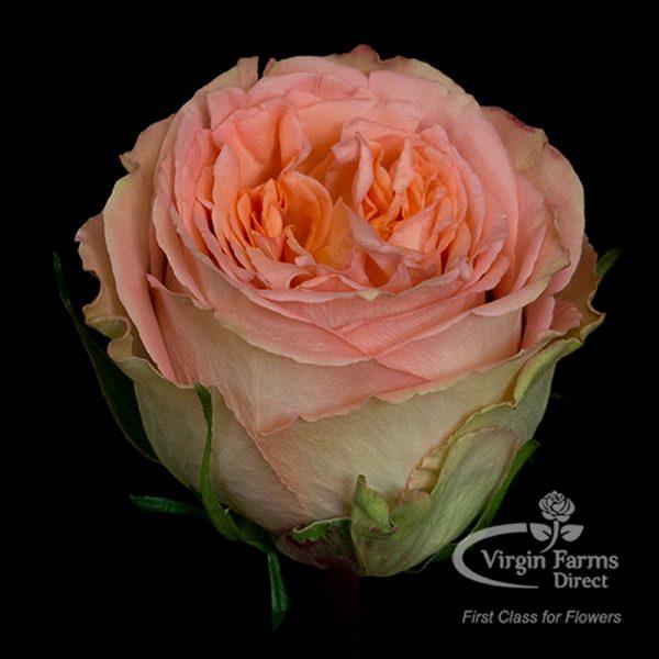 Country-Home-Peach-Rose-Virgin-Farms