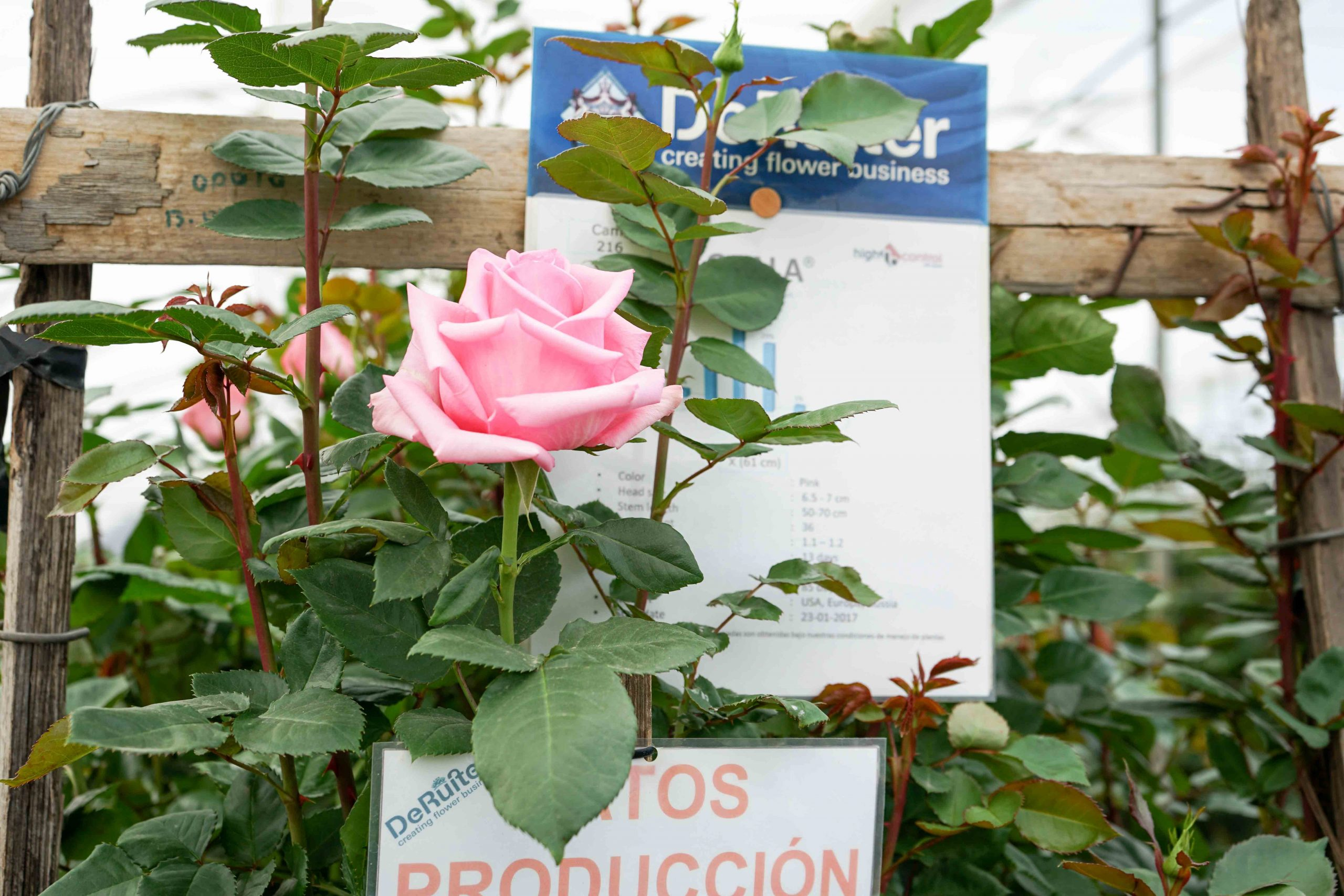 roses breed
