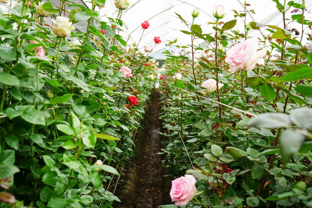 New Rose varieties
