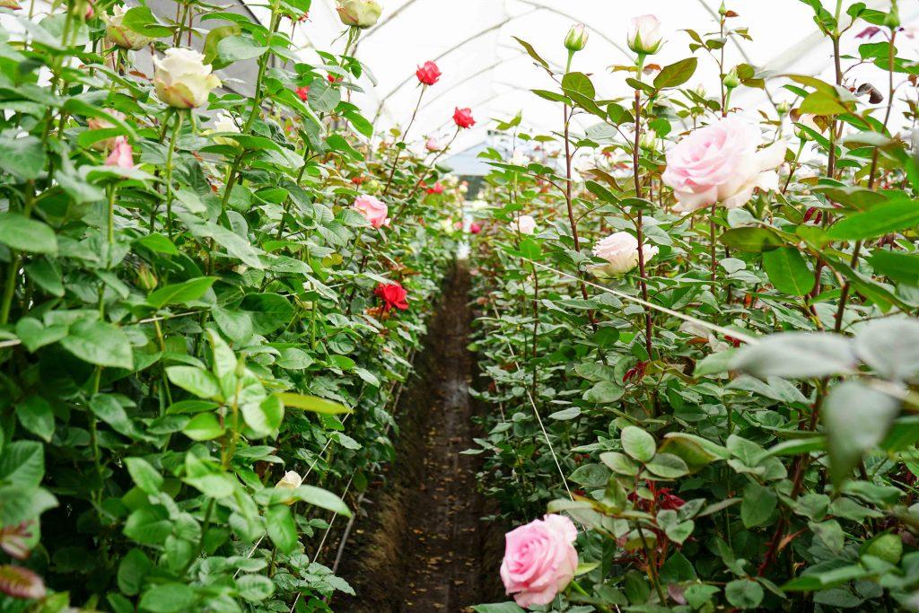New Rose varieties