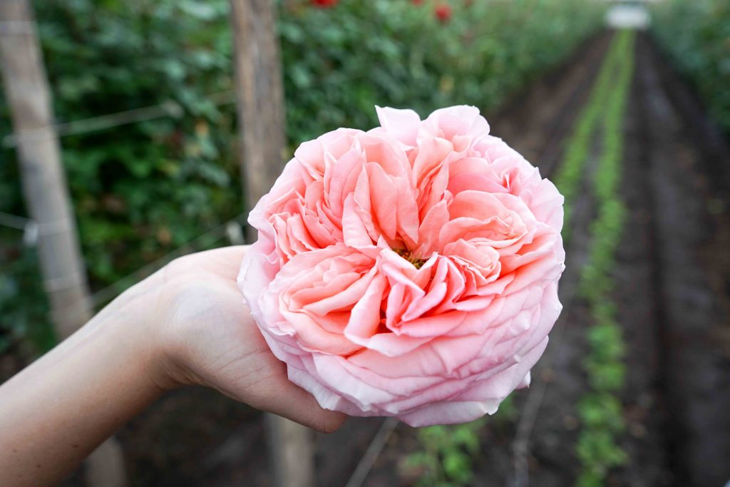 Combining science and nature to create fascinating roses