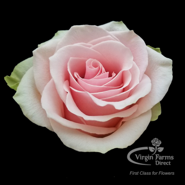 Frutteto-Rose-Virgin-Farms