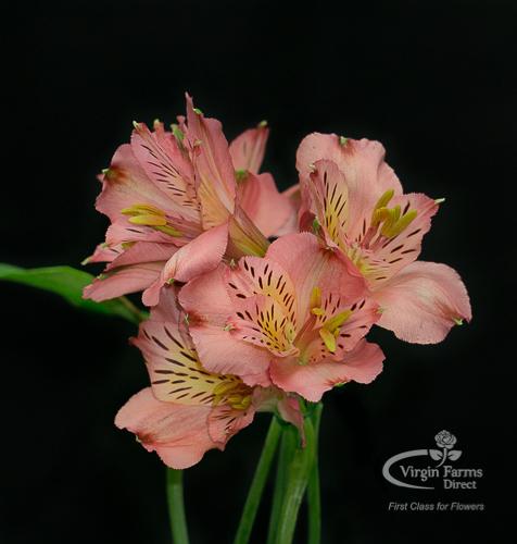 Alstroemeria Pink