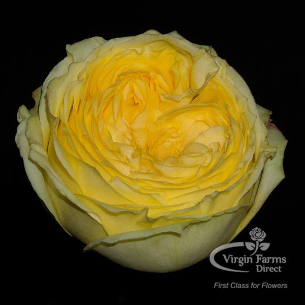 Catalina Yellow Garden Rose Virgin Farms
