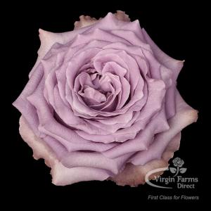 Kaori Garden Rose Virgin Farms