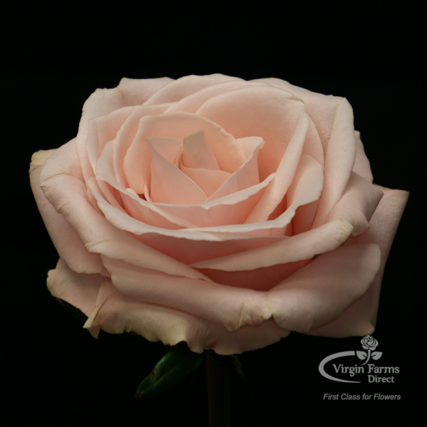 Madonna Pink Rose Virgin Farms