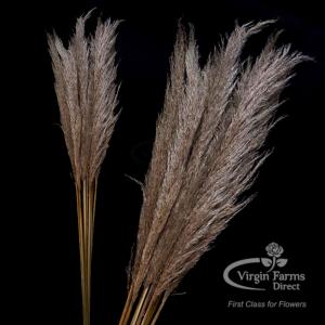 Pampas Grass Natural-Virgin-Farms