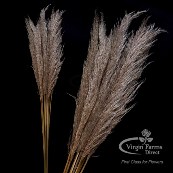 Pampas Grass Natural-Virgin-Farms