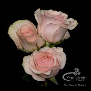 Spray Rose Star Blush-Virgin Farms