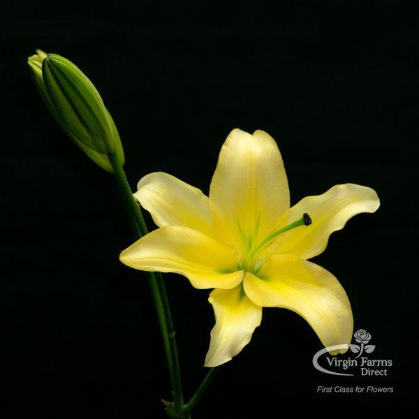 Yelloween Oriental Lily