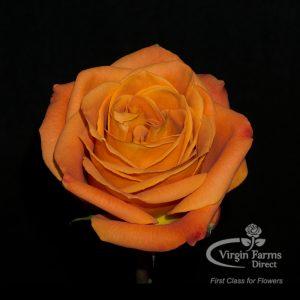 Nexus Orange Rose Virgin Farms